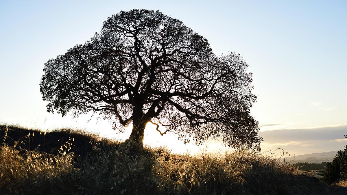 ブラックウォールナットの木